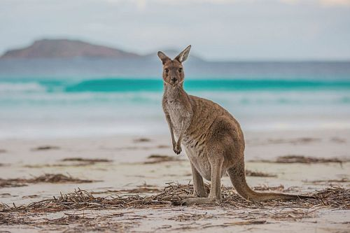 Kangaroo on the Beach - Tourism Western Australia - Margaret River Wine Region