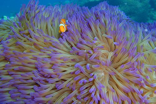 Clownfish in Sea Anemone at Great Barrier Reef - Tourism Queensland - Ningaloo Reef Australia