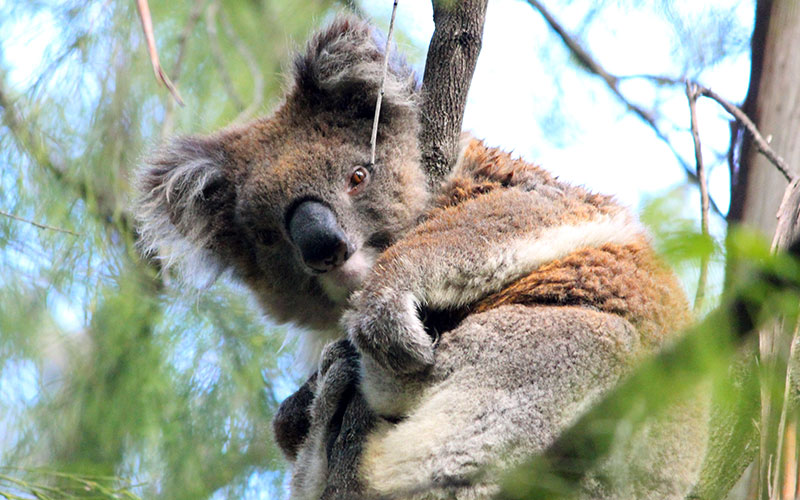 Wild koala outside of Melbourne - Echidna Walkabout wildlife tours