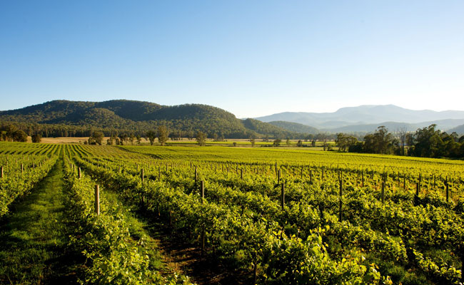 Lush vineyard in Victoria - Tourism Victoria - Travel Australia Food and Wine
