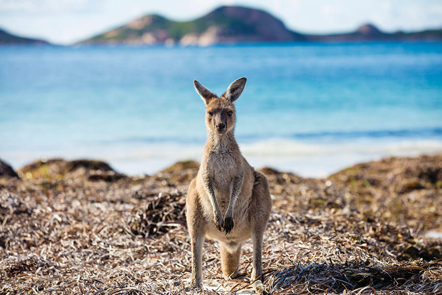 Kangaroo on the Beach at Lucky Bay - Book Your Australia Vacation - Australia Travel Agency