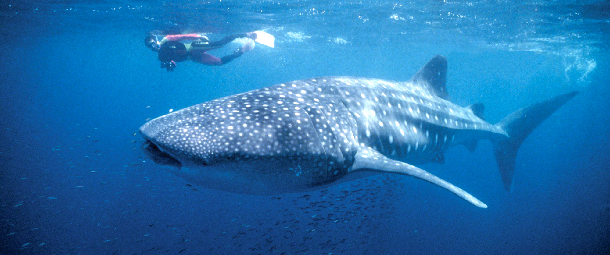Australia Less Traveled - Swim with Whale Sharks