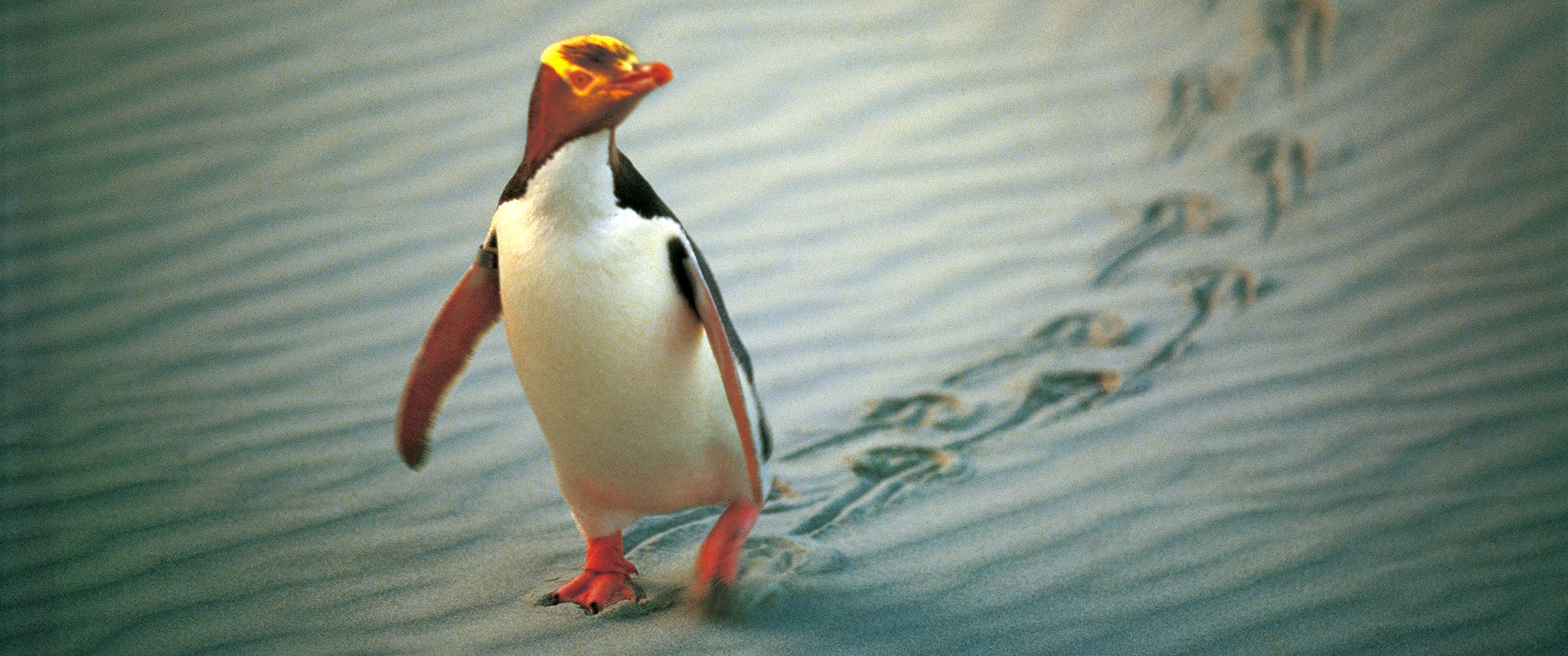New Zealand Vacation - Penguins - Travel Expert - Where to See Penguins - New Zealand Luxury Vacation