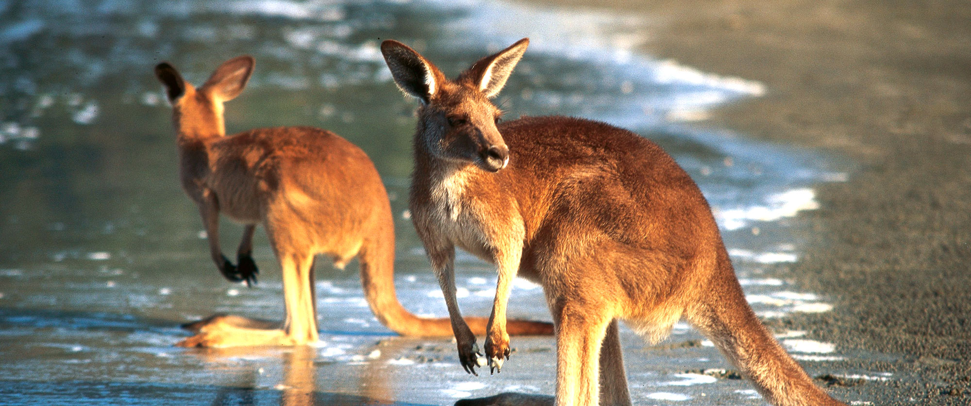 Australia Luxury Vacations: Cities and Reef Package - kangaroos beach