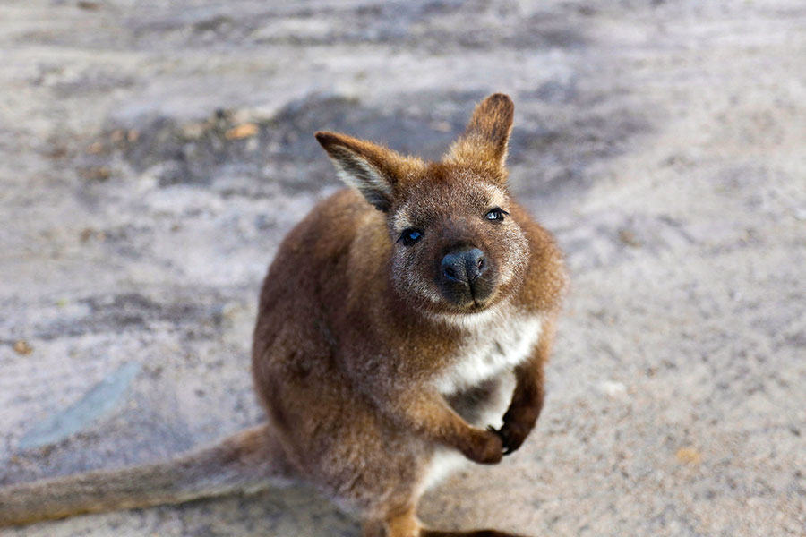 Wallaby on the Beach in Tasmania