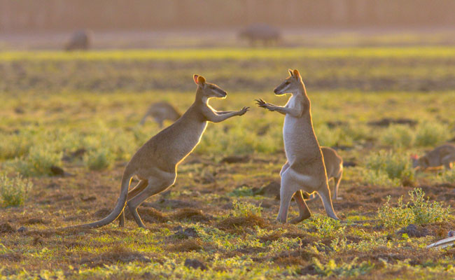 Wallabies play in Kakadu - Bamurru Plains - Best Places to Visit in Australia