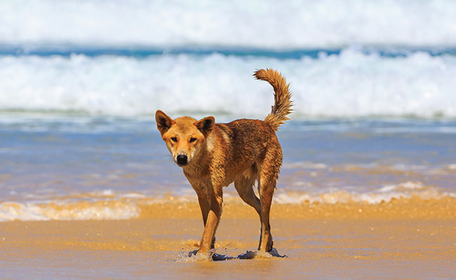 Dingo on the beach at Fraser Island Australia