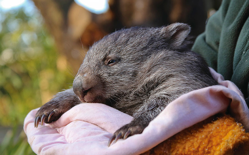 Wombat cuddling with its keeper at Bonorong Wildlife Sanctuary