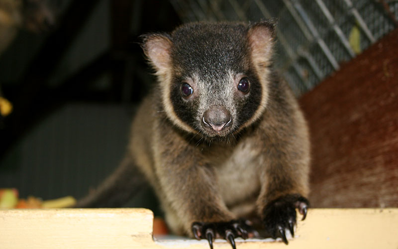 Baby Tree Kangaroo - Queensland, Australia