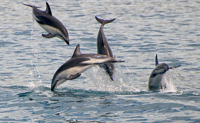 Four dolphins jumping in the ocean - Encounter Kaikoura - Best Wildlife Tours in New Zealand