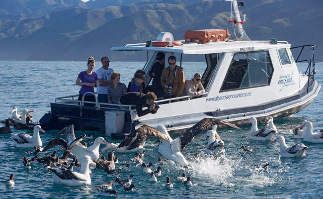 Albatrosses by a boat - Encounter Kaikoura - New Zealand Albatross Tours