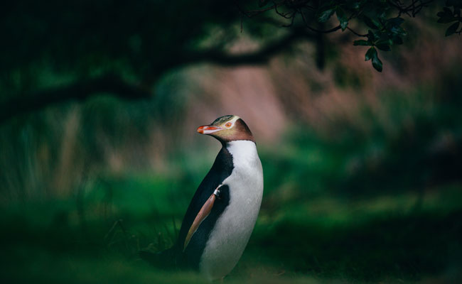 Yellow Eyed Penguin in a forest - Tourism New Zealand