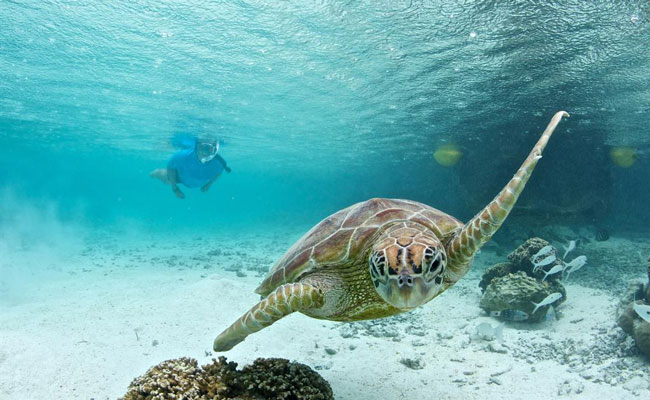 A turtle swimming in front of a diver - Le Meridien - Travel South Pacific Beaches