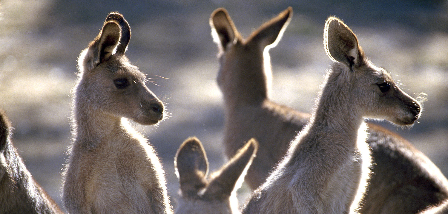 Australia vacation packages feed kangaroos