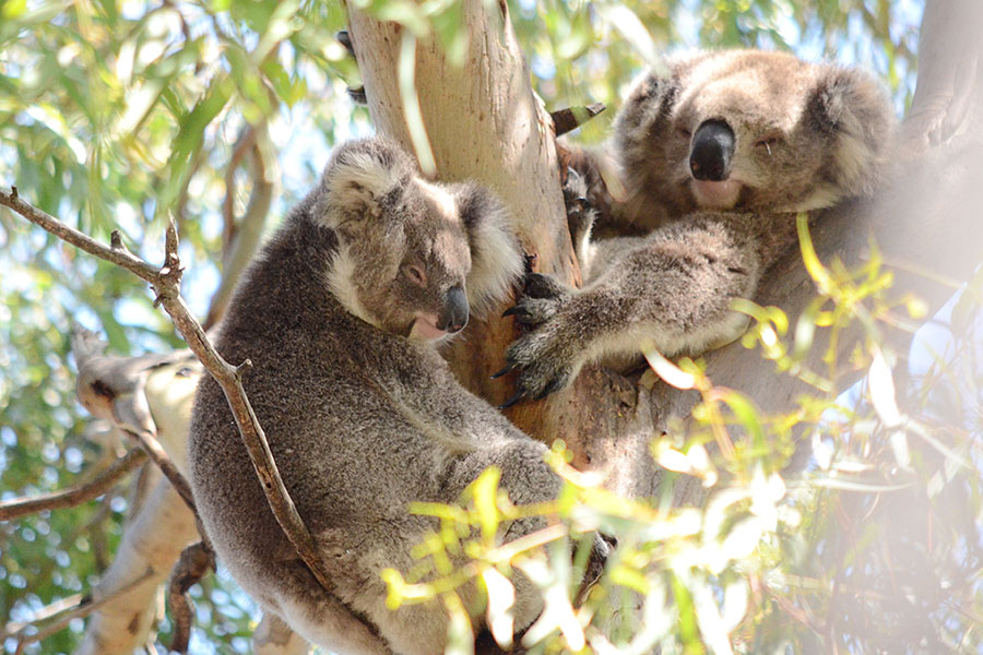 Wild Koala Day - 5 Myths About Koalas