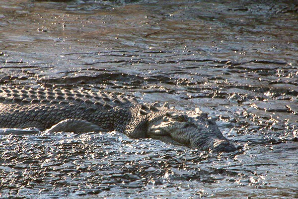 Authentic Outback Experience - Bamurru Plains Australia - Cruising on Mary River Floodplains - Crocodile in the Water