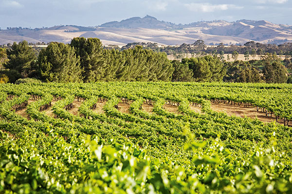 Wine Tasting in Barossa Valley, South Australia - Vineyard Views from The Louise
