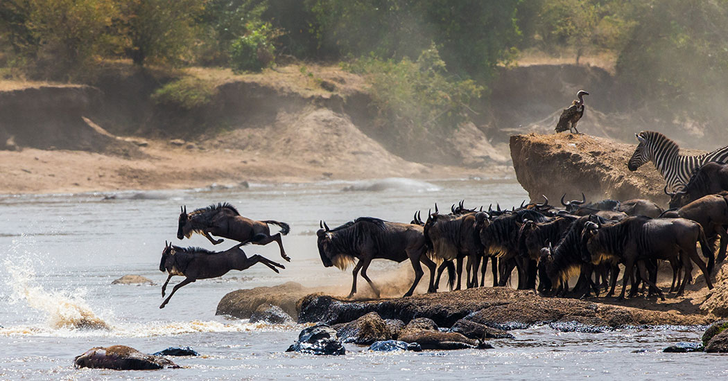 Wildebeest jumping into the Mara River during the Great Migration