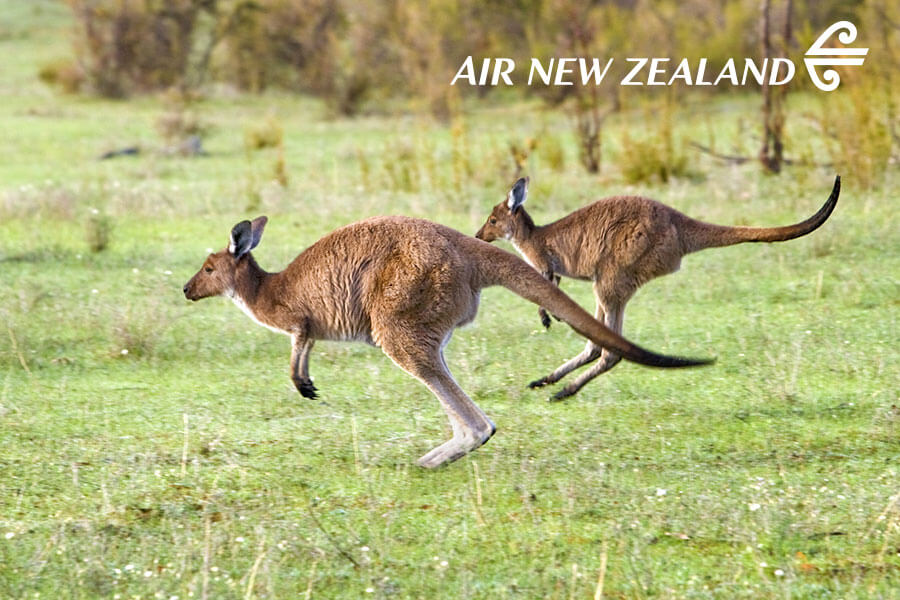 Kangaroos in Barossa Valley - Australian Wildlife, Wine, and Outback Adventure