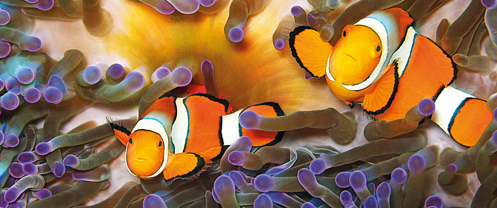 Clownfish in the Great Barrier Reef - Family Trip to Australia - Great Barrier Reef Vacation