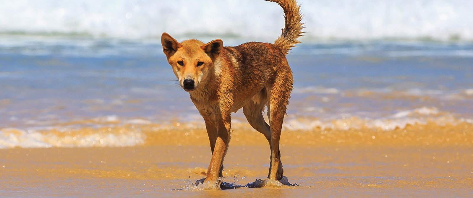 Wild Dingo on Fraser Island - Australia Getaway: Sunshine Coast and Kangaroo Island