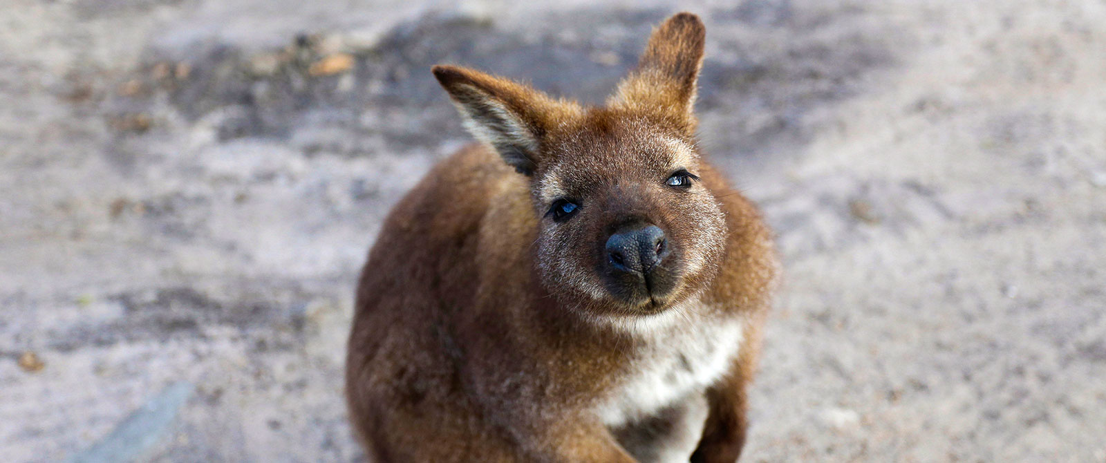 Australian Wildlife Vacations - Tasmania Wallaby on Friendly Beaches