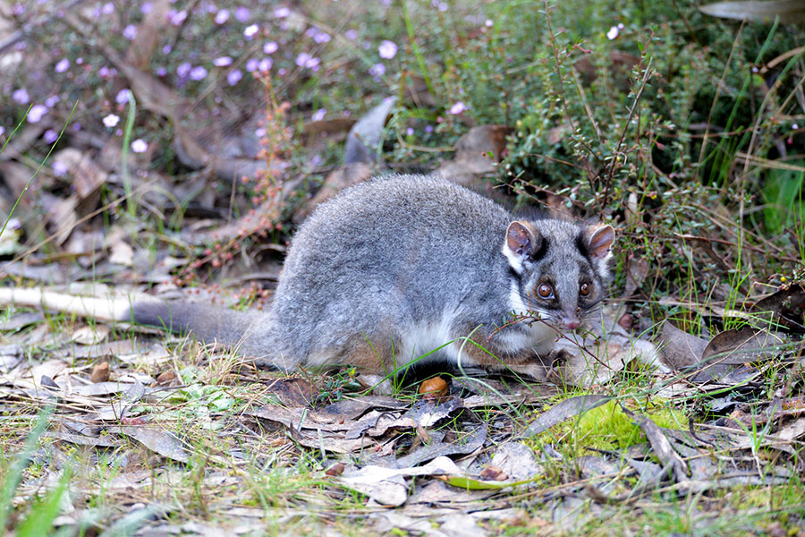 Bushtail Opposum - Exceptional Kangaroo Island - Best Australia Wildlife Tours