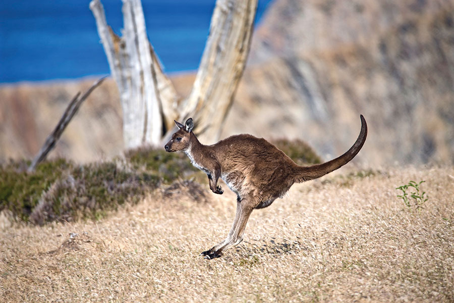 Kangaroo Hopping at Snellings Beach - Exceptional Kangaroo Island Wildlife Tours