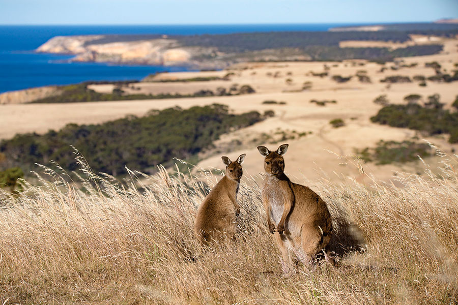Kangaroos at Snellings Beach - Exceptional Kangaroo Island Wildlife Tours