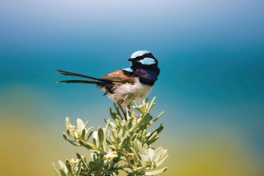 Superb Fairy Wren - Exceptional Kangaroo Island Wildlife Tours