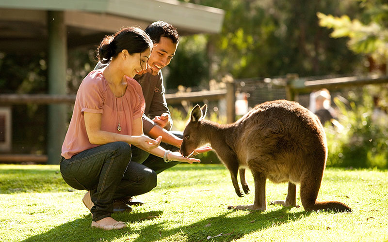 Couple Feeding Kangaroos at Healesville Sanctuary Melbourne