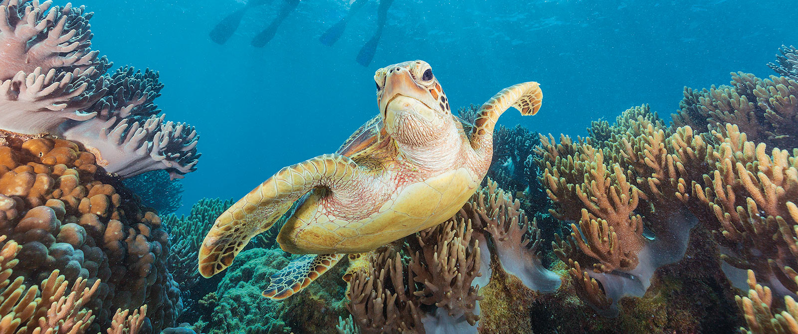 Sea Turtle in the Great Barrier Reef, Australia