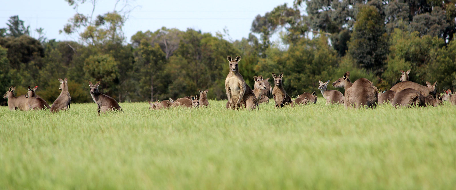 Wild Kangaroos in Australia - Echidna Walkabout Nature Tours, Melbourne